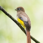 Trogon caligatus