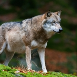 Loup d\'Europe