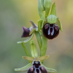 Ophrys aesculapii